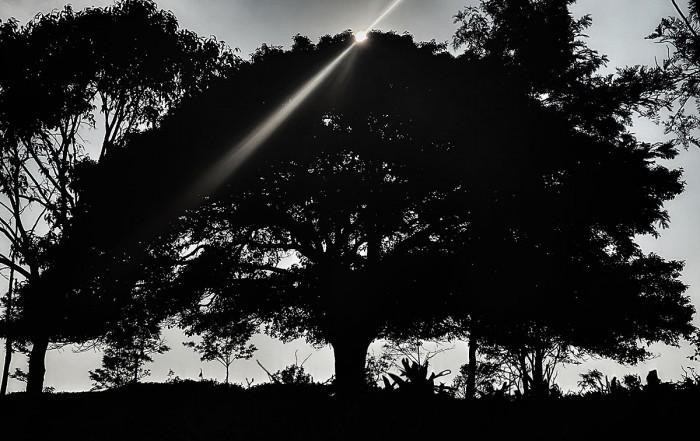 the Bikki tree