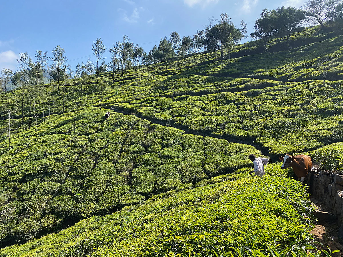 Laksmi and Pavriti in the Tea Plantations at Mountain Top Clinic